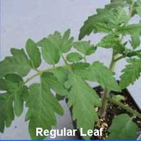 regular leaf