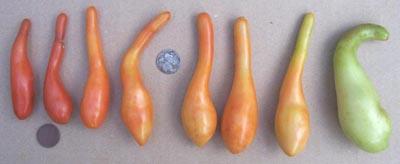 ملف كامل عن زراعة الطماطم  - صفحة 2 LONGJOHN
